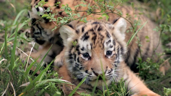 Yangzhou's newest heart-throbs. This cubs were a COMPLETE joy to film and hang out with.